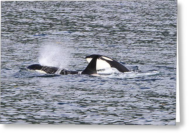 Ocean Mammals Pyrography Greeting Cards - Killer Whales Playing Greeting Card by Shoal Hollingsworth