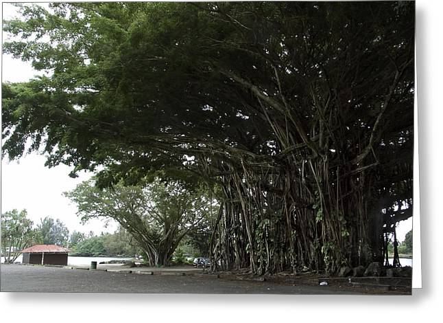 Tree Roots Photographs Greeting Cards - KING BANYAN TREE of HAWAII Greeting Card by Daniel Hagerman
