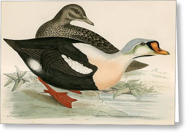 Hunting Bird Greeting Cards - King Duck Greeting Card by Beverley R. Morris