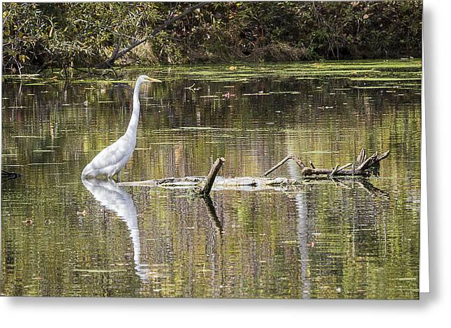 Pond In Park Greeting Cards - King of the Marsh Greeting Card by Herve Ozolins
