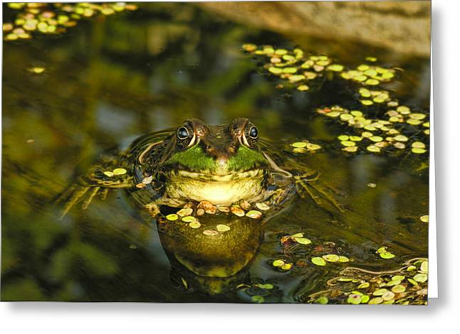 Tadpoles Mixed Media Greeting Cards - King of the Pond Greeting Card by Linda Muir