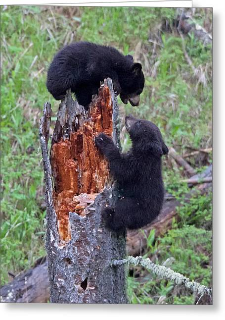 Natural Focal Point Photography Greeting Cards - King of the Stump Black Bear Cub Game Greeting Card by Natural Focal Point Photography