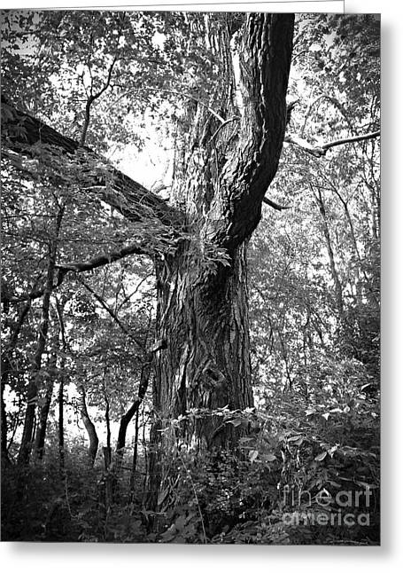 King Of The Timber Bw Greeting Card by Garren Zanker