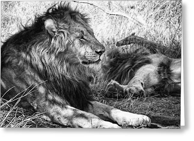 Lioness Greeting Cards - King of the Tribe Greeting Card by Douglas Barnard