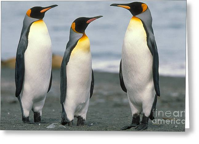 Seabirds Greeting Cards - King Penguin Greeting Card by Art Wolfe