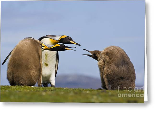 Animal Body Part Greeting Cards - King Penguin Chicks Begging For Food Greeting Card by Frans Lanting MINT Images