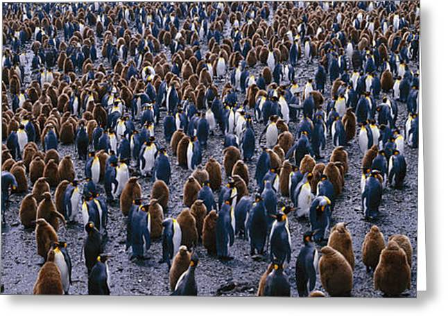 Vertebrate Greeting Cards - King Penguin Colony Salisbury Plain Greeting Card by Panoramic Images