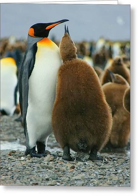 Hungry Chicks Greeting Cards - King Penguin Feeding Chick Greeting Card by Amanda Stadther