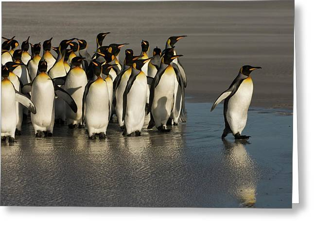 Aptenodytes Greeting Cards - King Penguin Group Volunteer Point Greeting Card by Pete Oxford