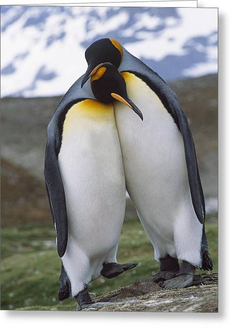 Bonding Greeting Cards - King Penguin Pair Display Mating Greeting Card by Johnny Johnson