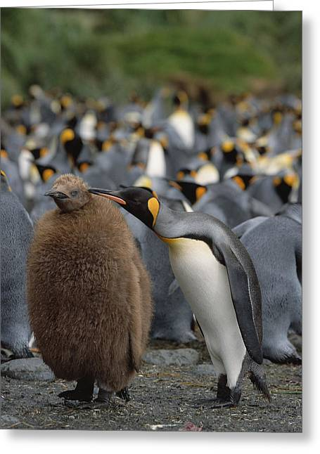 Animals Love Greeting Cards - King Penguin Parent Grooming Chick Greeting Card by Konrad Wothe