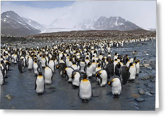 Groups Of Animals Greeting Cards - King Penguins Aptenodytes Patagonicus Greeting Card by Panoramic Images