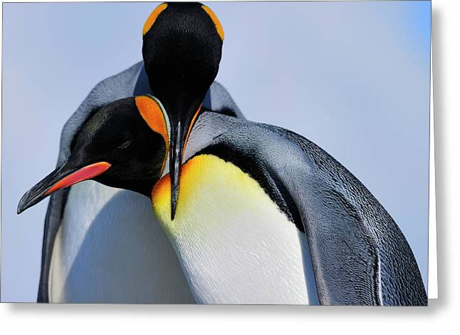Aptenodytes Greeting Cards - King Penguins Bonding Greeting Card by Tony Beck