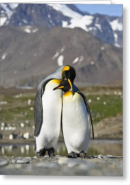 Aptenodytes Greeting Cards - King Penguins Courting St Andrews Bay Greeting Card by Konrad Wothe