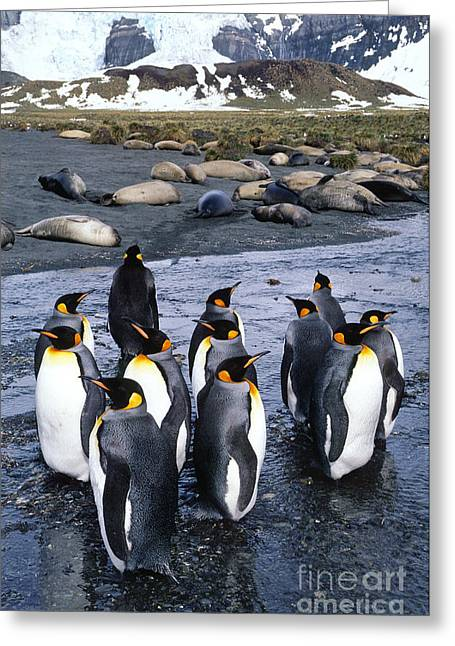Elephant Seals Greeting Cards - King Penguins Greeting Card by Gregory G. Dimijian