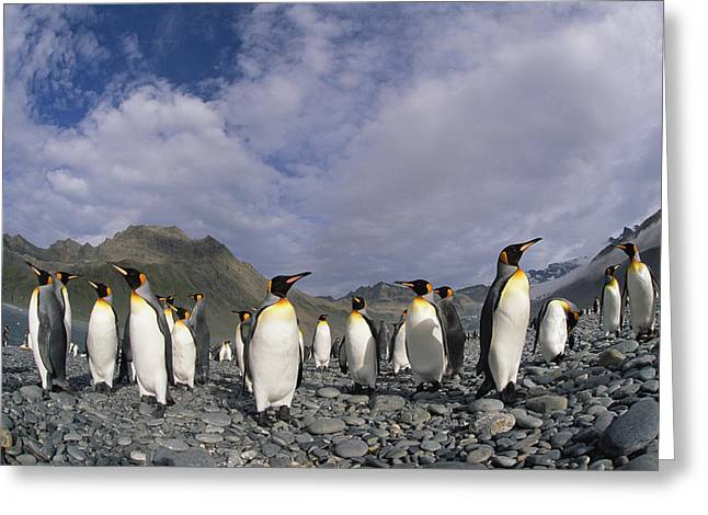 Beach Photos Greeting Cards - King Penguins On Rocky Beach South Greeting Card by Colin Monteath