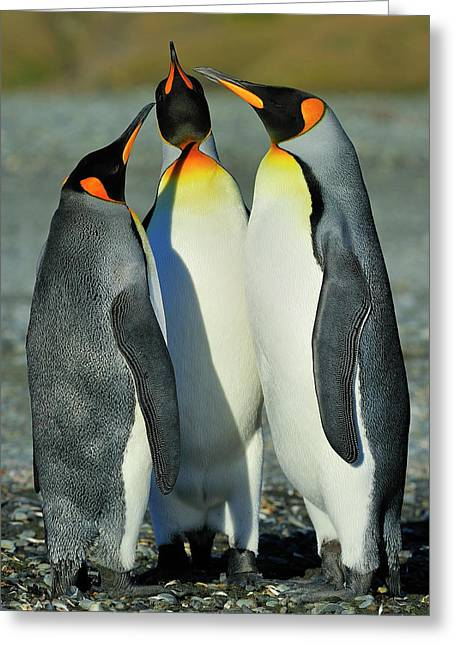 Aptenodytes Patagonicus Greeting Cards - King Penguins standoff Greeting Card by Tony Beck