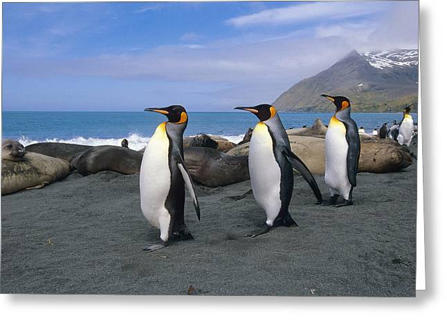 Atlantic Beaches Greeting Cards - King Penguins Walk Among Elephant Seals Greeting Card by Tom Soucek
