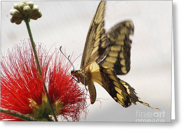 Papilio Thoas Greeting Cards - King Swallowtail Butterfly Greeting Card by Rudi Prott