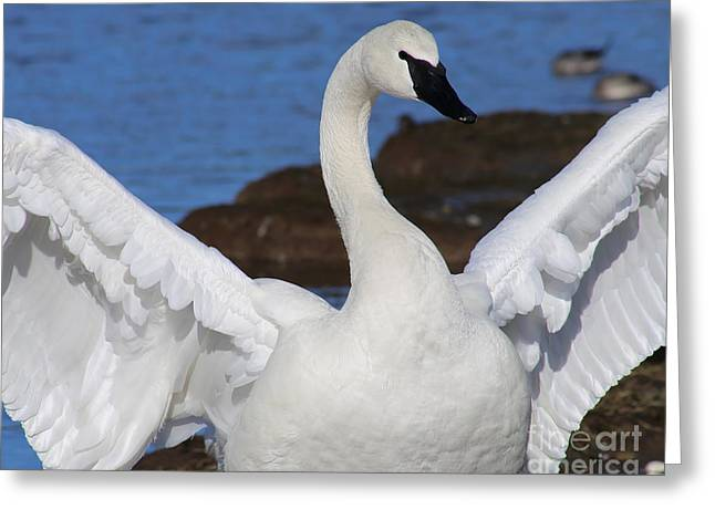 New Greeting Cards - King Trumpeter Swan Greeting Card by Sue Harper