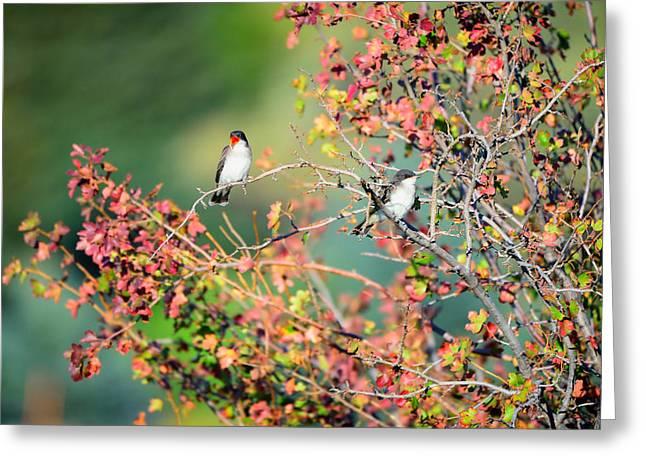 Eastern Kingbird Greeting Cards - Kingbird Pair Greeting Card by Greg Norrell