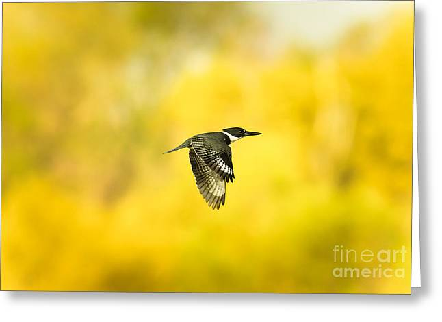 Cabin Window Greeting Cards - Kingfisher On Gold 2 Greeting Card by Robert Frederick