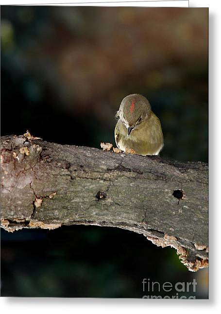 Photos Of Birds Greeting Cards - Kinglet On The Feed Greeting Card by Skip Willits