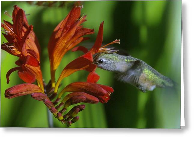 Hood River Oregon Greeting Cards - Kiss Of A Humming Bird Greeting Card by Jeff  Swan