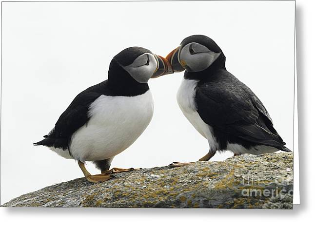 Puffins Greeting Cards - Kissing Puffins Greeting Card by Jim  Hatch