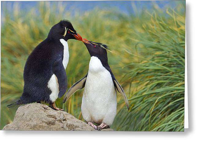 Bonding Greeting Cards - Kissing Rockhoppers Greeting Card by Tony Beck
