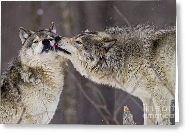 Timber Wolf Pics Greeting Cards - Kissy Face Greeting Card by Wolves Only