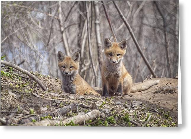 Menasha Greeting Cards - Kit Foxes 2011-1 Greeting Card by Thomas Young