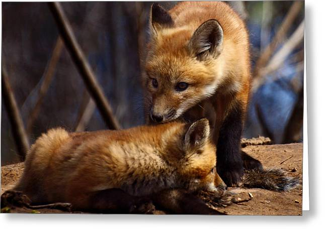 Kit Foxes Greeting Card by Thomas Young