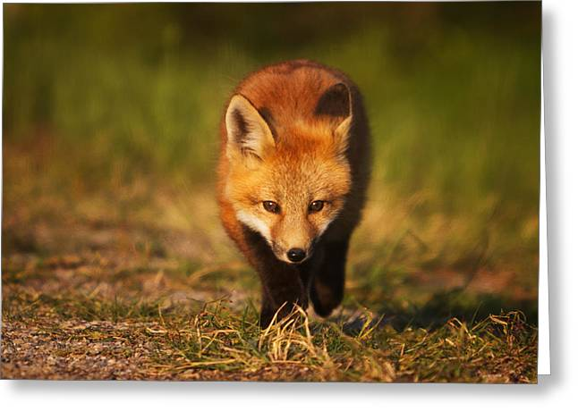 Vulpes Vulpes Greeting Cards - Kit on the Prowl Greeting Card by Mark Kiver