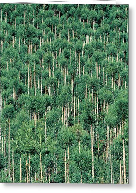 Tall Trees Greeting Cards - Kitayama Cedar Trees Kyoto Japan Greeting Card by Panoramic Images