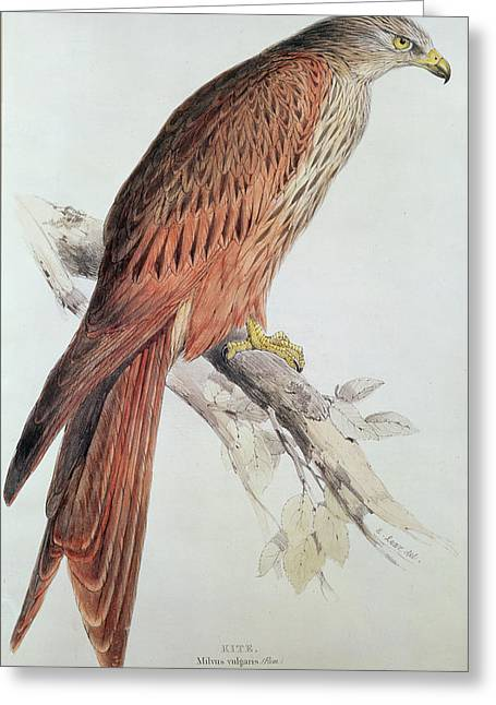 Audubon Greeting Cards - Kite Greeting Card by Edward Lear