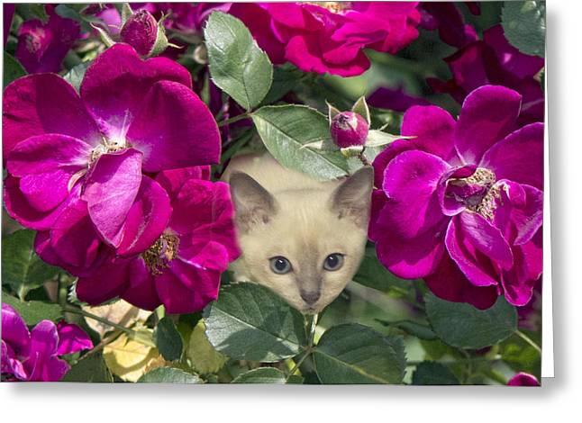 Tonkinese Greeting Cards - Kitten Among Pink Roses Greeting Card by Linda Phelps