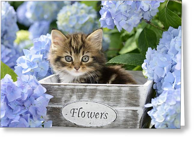 Tabby Greeting Cards - Kitten In Flowerpot Greeting Card by Greg Cuddiford
