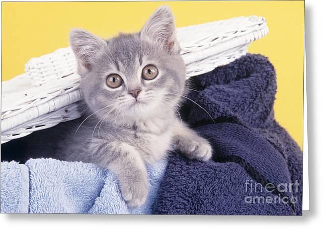 Hamper Greeting Cards - Kitten In Laundry Greeting Card by John Daniels