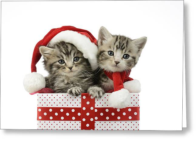 Christmas Eve Greeting Cards - Kitten In Presents Greeting Card by Greg Cuddiford