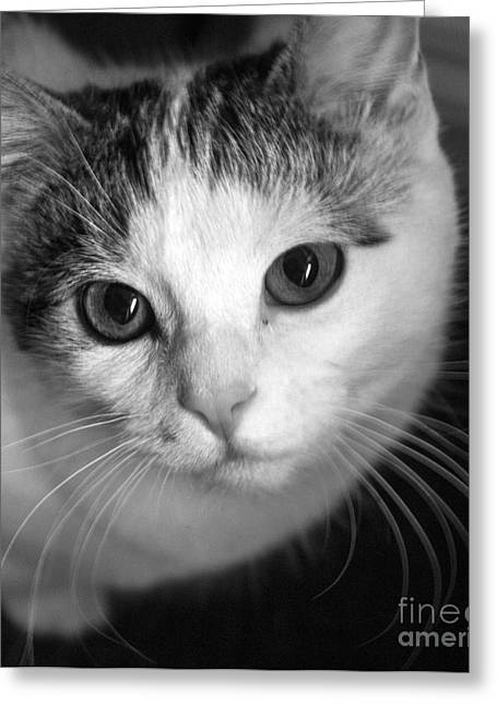 White Digital Greeting Cards - Kitten Greeting Card by India Boulton