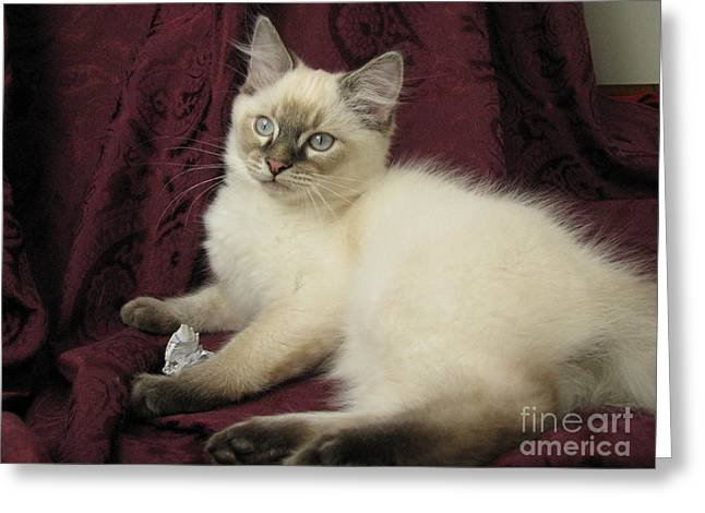 Playing Cards Greeting Cards - Kitten Lynx Point Long Hair Playing with Paper Greeting Card by Pamela Benham