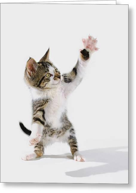 Full Body Greeting Cards - Kitten Greeting Card by Thomas Kitchin & Victoria Hurst