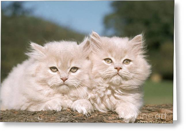 Kittens Greeting Card by Hans Reinhard