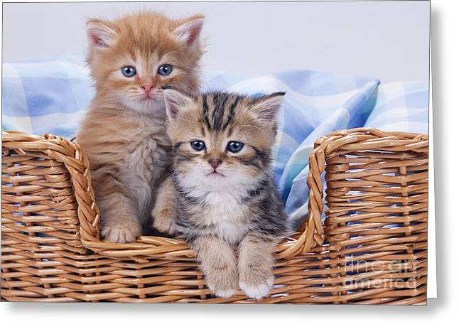 Domestic Pet Portraits.house Cat Greeting Cards - Kittens In A Basket Greeting Card by John Daniels
