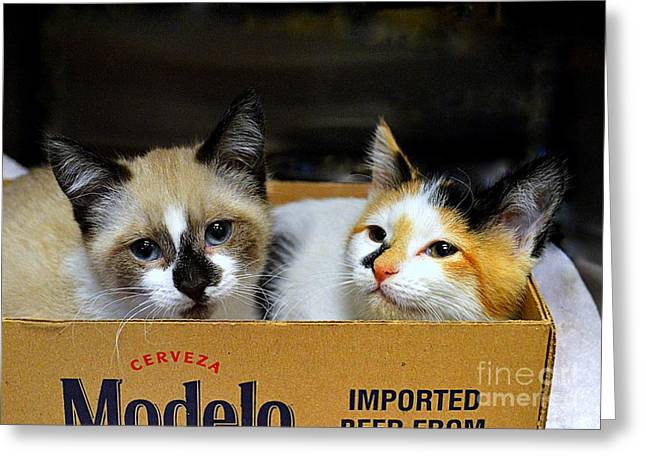 Shelter Kitty Greeting Cards - Kittens in a Box Greeting Card by Catherine Sherman