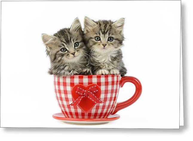 Sitting Photographs Greeting Cards - Kittens In A Gingham Cup Greeting Card by Greg Cuddiford