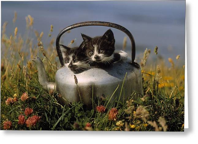 Felis Silvestris Catus Greeting Cards - Kittens In An Old Kettle Greeting Card by The Irish Image Collection