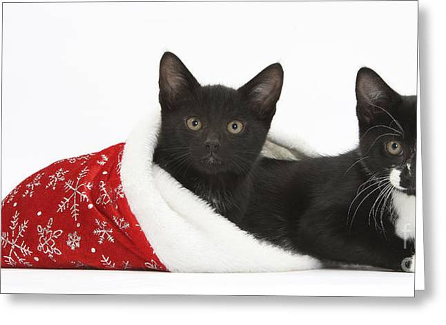 House Pet Greeting Cards - Kittens In Christmas Hat Greeting Card by Mark Taylor