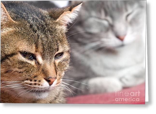 Kitties Again Greeting Card by Sinisa Botas